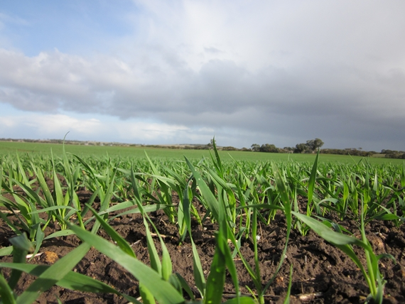 Early emergence with root & leaf vigour